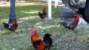 Key West has all these chickens running around.  Made us feel like we were in the islands again!