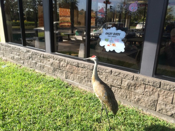 This picture was just too funny to pass up.  We stopped at a Burger King in Florida. This beautiful bird was standing by the door. I