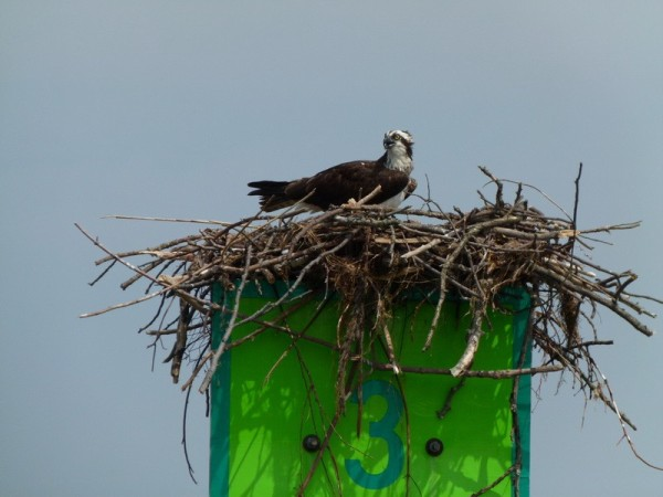 Familiar scenes on the Chesapeake Bay - Osprey on a day mark.