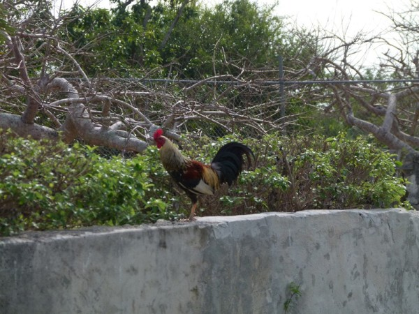We walked all over Rock Sound.  All of these Bahamian towns have roosters and chickens running around. Bill managed to get a good picture of one.