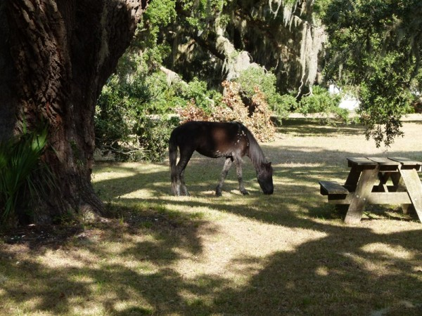We anchored next to Cumberland Island where they have a national park.  There are wild horses wandering around. We only saw two, but we saw enough droppings to think there are probably more!