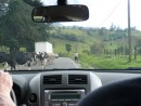Local sights--cows heading home for milking
