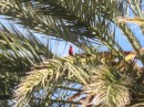 A cardinal in the palm tree.