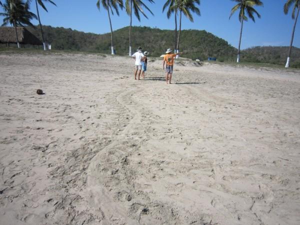 Turtle tracks to nest