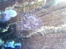 An uncooperative Lion Fish.  He wouldn