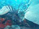 Another of the Lion Fish.  He sure doesn