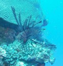 Lion Fish.  Very poisonous.  While I got close, I stayed careful.