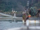 At Coos Bay, the sea lions would follow the fishing boats into the harbor, looking for yummy handouts.