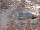 rare island fox, on hike from Pelican to Prisoner