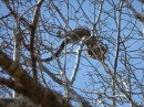 BIG iguana in tree in La Cruz. We also see them in the mangroves behind Paradise Village Marina where we are currently