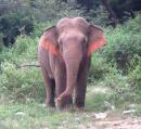 THE BULL: This fellow (we think it is a he) is actually quite healthy looking. Notice how the Asian elephant's ears are in the shape of the Indian sub-continent... His cousins over in Africa have ears which look like THEIR continent. Coincidence, or top-down, intelligent design?
