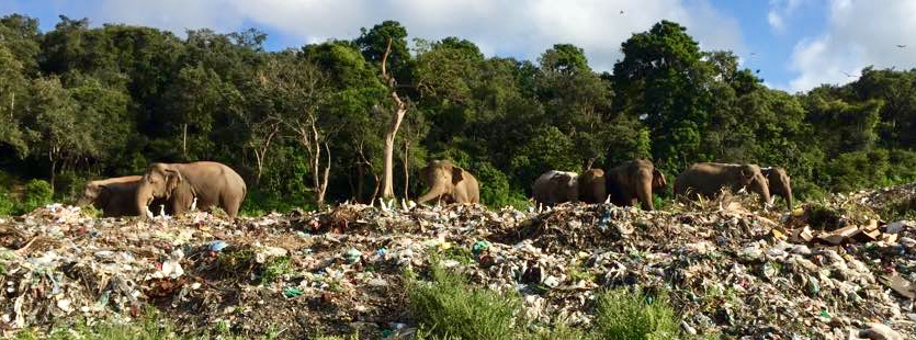 LIFE ON A TRASH PILE: Every day the local elephants come to the landfill to browse on the trash pile...