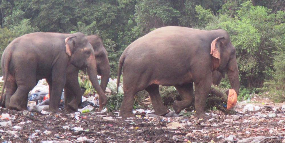 EATING PLASTIC: It is very difficult to keep the elephants out of the trash pile, but as their natural habitat is reduced in the countryside they gravitate to the landfill...