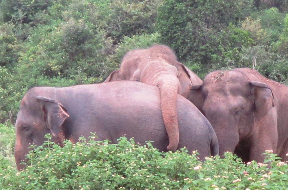 CIRCLE THE WAGONS...: The Asian elephants of Trincomalee are quite social and intelligent - in addition to being wild and aggressive. It is pretty much them against the world they live in...