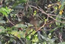 We especially enjoyed watching the Capuchin monkeys on the Rio Pikien.  Do you suppose this fellow
