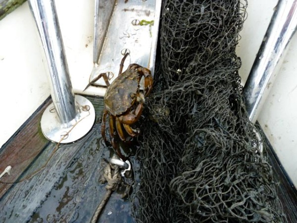Net of crabs around the anchor chain