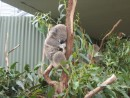 cutest koala at Sydney Wildlife world