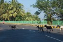 animals get the right of way in the Andaman Islands