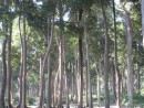 such amazing trees on Havelock island