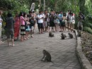 Monkey Forest, a group of Japanese tourists circle the monkeys
