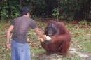 Some easy food for the orangutan, Kumai, Borneo