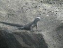 1st  Galapagos iguana - he´s really tiny