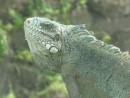 beautiful iguana by old pond ile royale