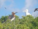 young frigate birds