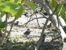 baby terns