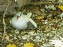 Mother tropic bird