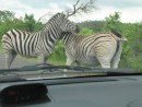 zebras holding us up