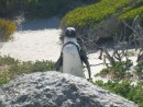 African penguin viewed from boardwalk near Boulders beach