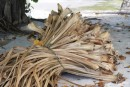 Drying Pandanus leaves for weaving