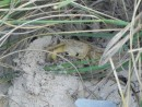 A neat little green crab that Nancy found.