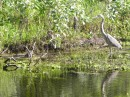 Can you see the baby alligator to the left which has this Blue Heron