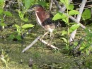 Well disguised green heron