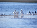 American white pelicans,Florida.  They catch fish by swimming unlike the brown pelicans who dive for the fish.