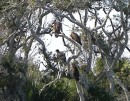 Four Vultures in a tree in Florida
