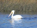 American white pelican, different from the brown pelican