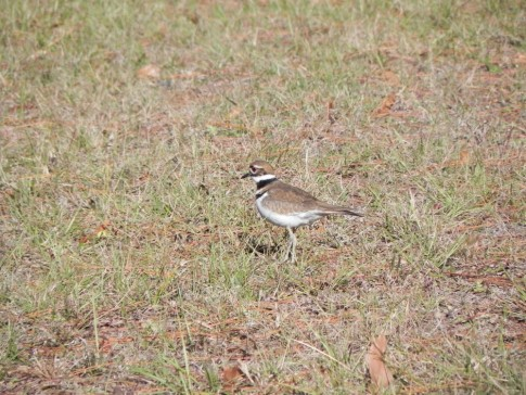 Plover at Jekylly Island