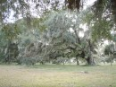Lots of Spanish moss