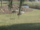 Sandhill cranes outside lanai.JPG