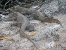 Komodo Dragons on the Island
