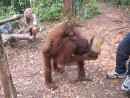 These Orangutans are lovely to see in their own environment, well done to the guys that save them.: These Orangutans are lovely to see in their own environment, well done to the guys that save them.