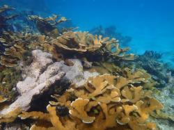 Elkhorn Coral: Snorkeling at Conception Is
