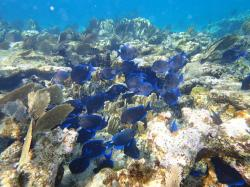 Blue Tangs: Snorkeling at Conception